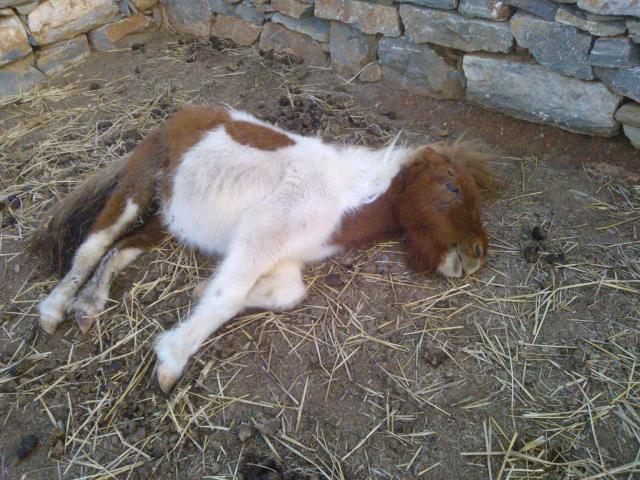 Ένα από τα ιπποειδή (πόνυ) αδύναμο, εκαντλημένο, καταρρέει